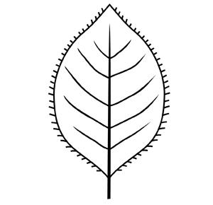 cilié